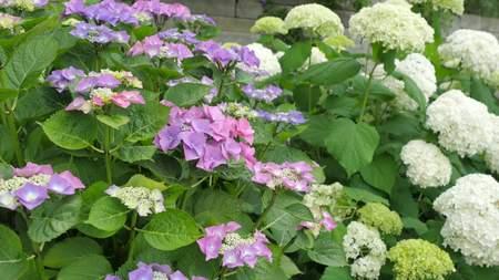 hydrangea macrophylla: Purple Hydrangea flower (Hydrangea macrophylla) in a garden. Stock Photo