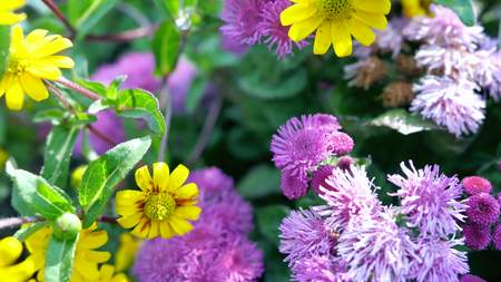 loopy: Beautiful purple flowers. Its scientific name is Ageratum Houstonianum.