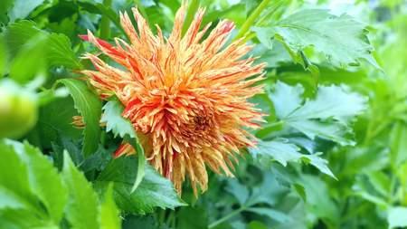 Orange dahila flower in the green summer home flower garden in countryside nature.