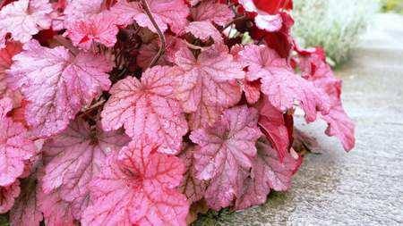Burgundy leaves in the garden in the foreground