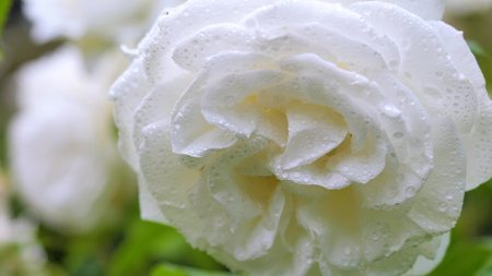 White rose in raindrops swinging in the wind. Close-up Stock Photo