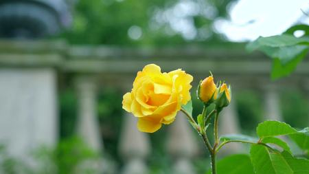 yellow rose: Yellow rose on the background of columns.