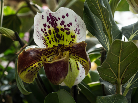 Close up of ladys slipper orchid (Paphiopedilum Callosum).
