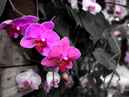 Beautiful Farland orchid in tropical garden., Streaked orchid flowers., Beautiful orchid flowers. Stock Photo