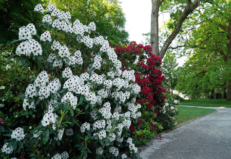 shrubs: A bush with white rhododendron flowers Stock Photo