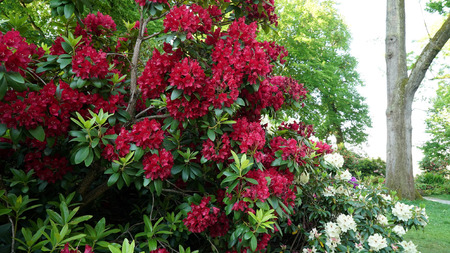 Red Rhododendron bush in bloom