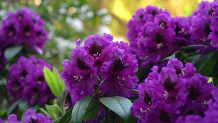 Violet rhododendron on a blurred background.