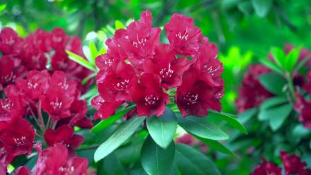 Red rhododendrons and green leaves.