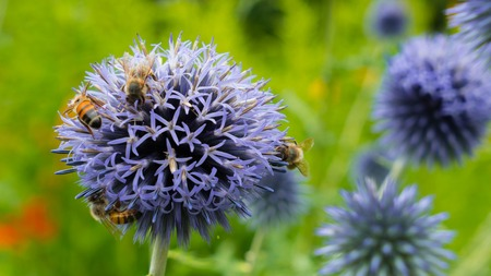 background: Bees on a purple flower collect the nectar. Very beautiful background from the same flowers. Stock Photo