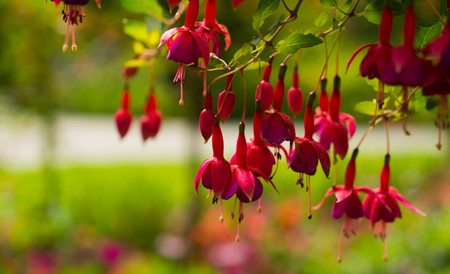 flores fucsia: Flowers of red fuchsia flowers.