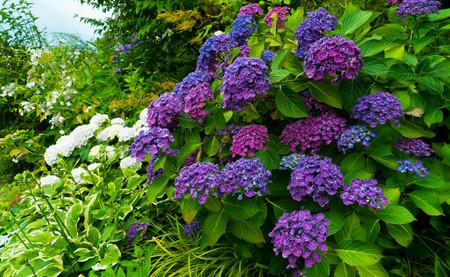 A bush with purple hydrangea flowers.
