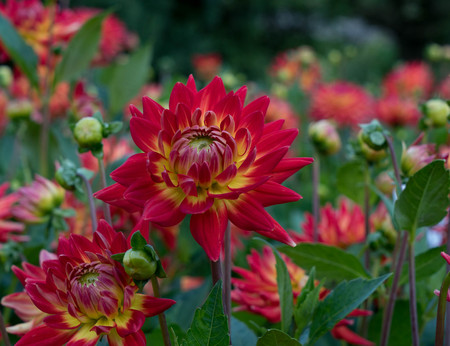 Red dahlia on a very beautiful blurred background. Stock Photo