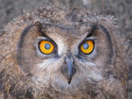 subsist: Owls eyes close up, wonderful wild life Stock Photo