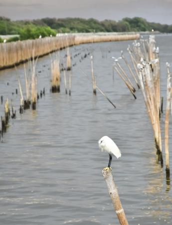 ardeidae: egret