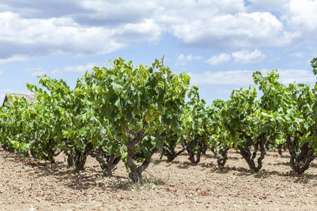 Vineyards in Penedes wine area. Stock Photo