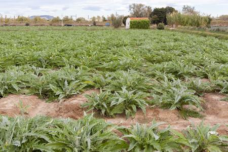 Agriculture, artichokes plantation. Stock Photo