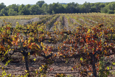 Landscape with vineyards in autumn, Penedes wine region.Catalonia,Spain.