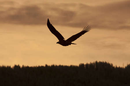 Eagle winging towards sunset, silhouette