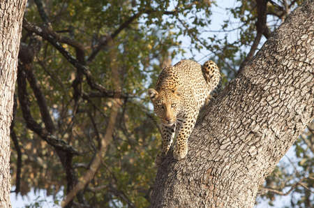 Leopard Poised for Descent