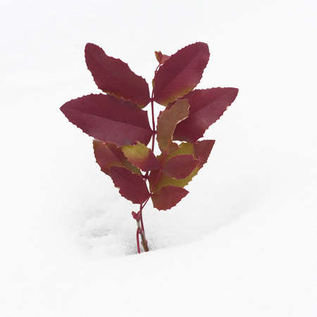 Red Oregon Grape Leaves in Snow