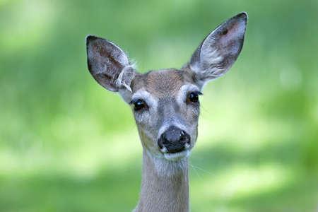 White-tailed Doe Stock Photo - 17931200