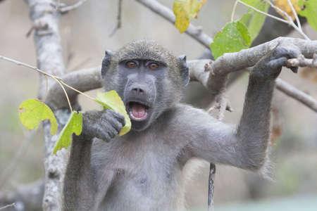 Baboon Eating Leaf