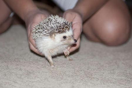 Hedgehog in Girl s hands Stock Photo