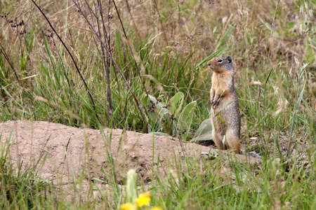 Golden-mantled squirrel by burrow