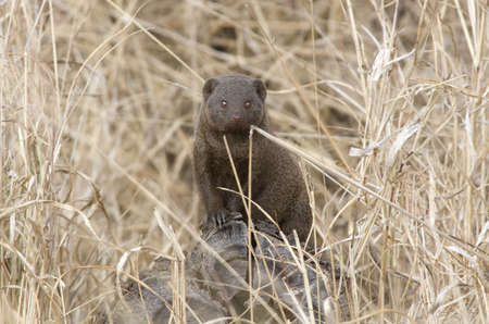 African Common Mongoose Stock Photo