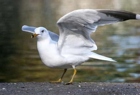 Ring-billed Sea Gull