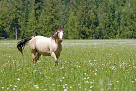 Horse running in flowered meadow Stock Photo