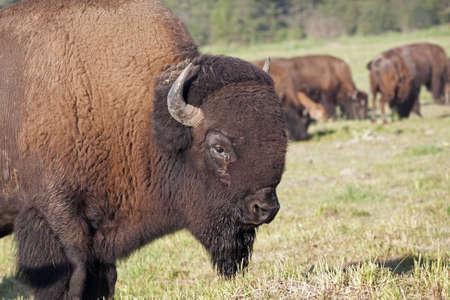 Buffalo Bull, guardian of the herd