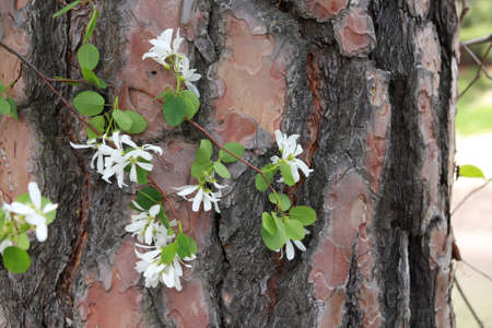Western Service Berry Blossoms