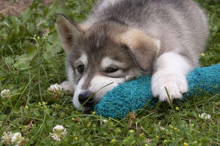Alaska Malamut Puppy with Toy