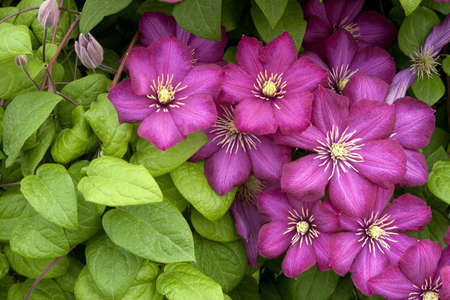 Clematis, Scarlet Blossoms