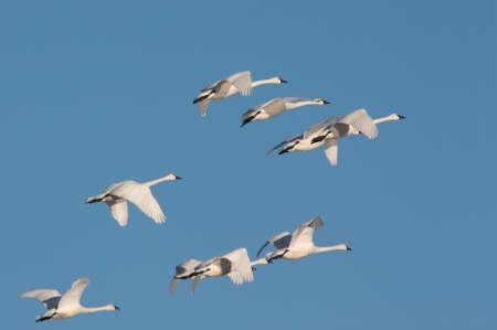 Tundra Swans in Flight Stock Photo
