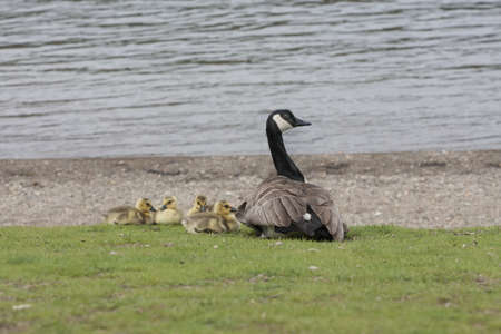 Mama Goose and four Goslings