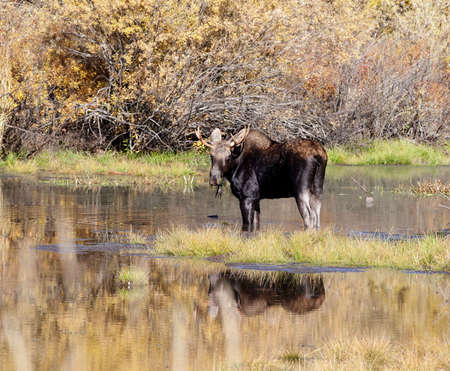 Young Bull Moose in Water with Fall Colors Stock Photo