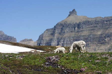 Rocky Mountain Goats, Doe and Kid