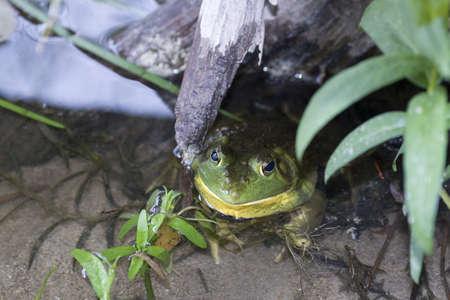 Bull Frog in Hiding  Stock Photo