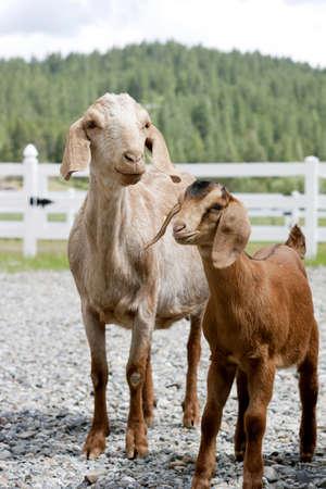 Goats  Nubian Doe and Kid