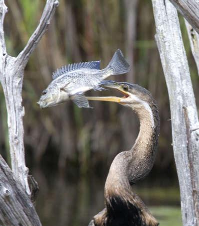 African Darter with Fish on Beak  Stock Photo - 21543352