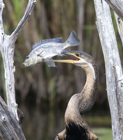 African Darter with Fish on Beak