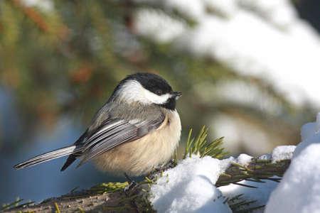 Chickadee Negro-capsulado en la nieve