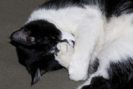 Cat covering Face with Paw Stock Photo