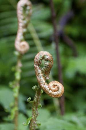 Fiddlehead Ferns Stock Photo