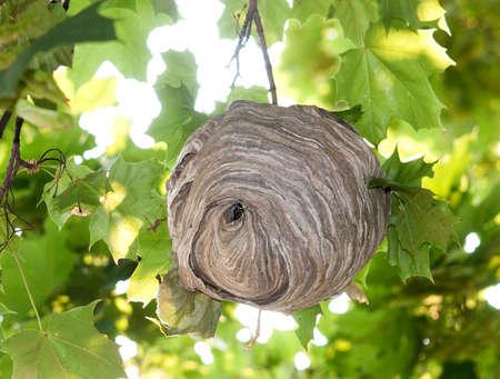 Bald-faced Hornet s Nest Stock Photo - 23308400