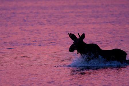 Moose in Sunlit Water
