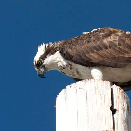 Osprey on Post Stock Photo - 23308402