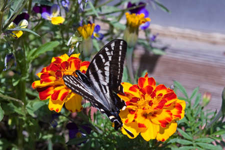 Zebra Swallowtail Butterfly Stock Photo - 23308427